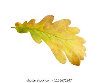 Oak tree leave isolated on white background