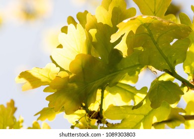 Oak tree leaves