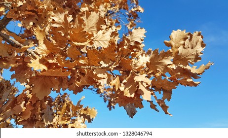Oak tree leaves in Autumn