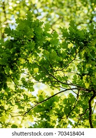 oak tree leaves in early summer against blue sky - vertical, mobile device ready image