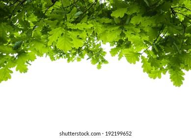 oak tree leaves isolated