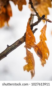 Oak tree leaves on branch over snow covered forest ground at winter