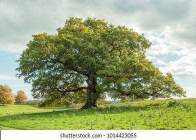 Oak tree in a meadow.