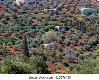 An oak tree in the middle of olive trees in Al Salt northwest of Amman