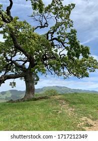 Oak Tree with Mt. Diablo