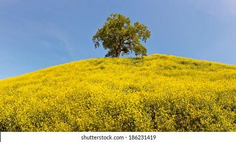 Oak Tree and Mustard Hillside Panoramic