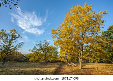 Oak tree in a Natural Reserve in Germany (Mainz Sanddunes) in Fall
