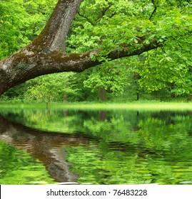 Oak tree reflected in water
