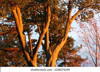 Oak Tree in the Setting Sun in Kingston, Ontario near Lake Ontario Park in the fall of 2018