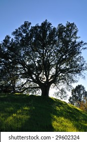 Oak tree silhouetted against the sunset in a verdant meadow on a spring day, Mt. Diablo state park, California