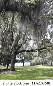 Oak Tree Spanish Moss