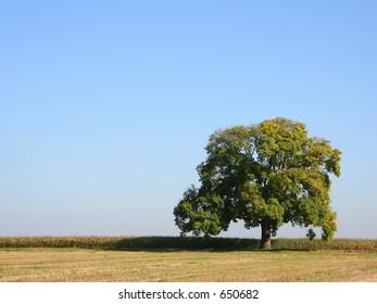 An oak tree in Summer