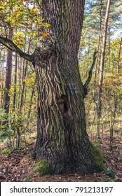 Oak tree trunk in Kampinos Forest in Poland