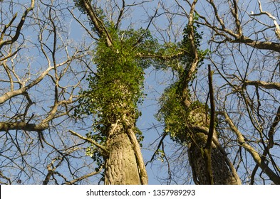 Oak tree trunks with climbing Ivy plants by a blue sky