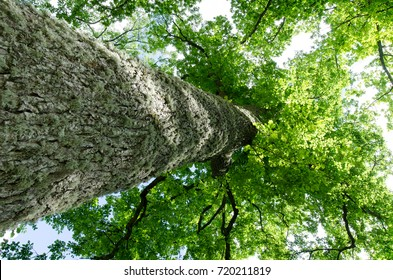 oak tree view from bottom to top. oak tree trunk and green crown in a summer time