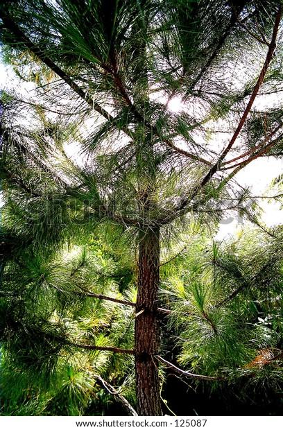 oak tree in the wild
