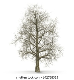 Oak Tree Winter on white. 3D illustration