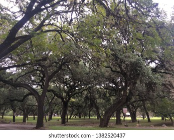 Oak trees in Garner State Park, Texas