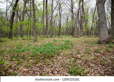 Oak trees and ground plants just starting to leaf out in early spring at Starved Rock State Park in Illinois.