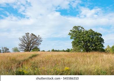 oak trees in open field of prairie grass in chaska minnesota