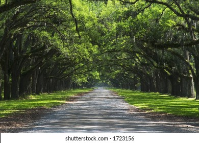 Oak trees overhanging gravel road