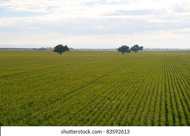 Oak trees rising above corn field in the San Joaquin Valley in California