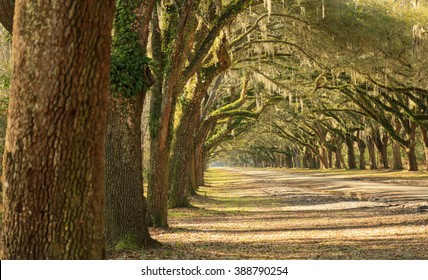 Oak trees/Picturesque/A long line of large oak trees with Spanish moss line a dirt road on a sunny day in Georgia.