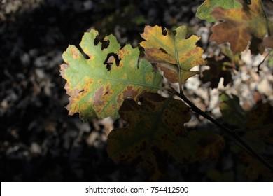 Oak wilt on leaves