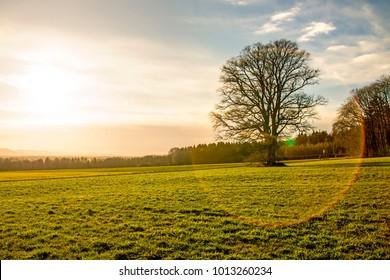 Oak in wintertime during sunset