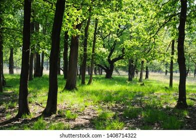 oak wood in nature reserve Kampina, netherlands