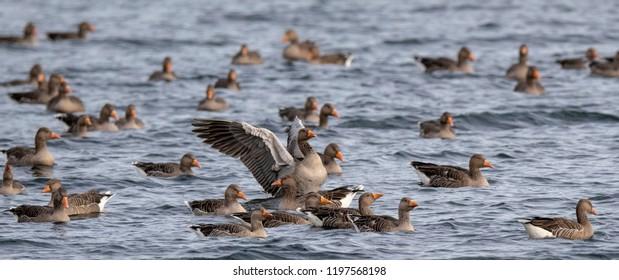 Oakham, Rutland/UK - October 9th 2018: A flock of geese on Rutland Water.