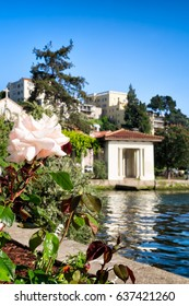 Oakland, California, Lake Merritt with roses growing in the foreground. Selective focus on the flowers, with historic pergola and hillside buildings seen in the background.