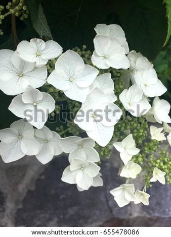 Oakleaf hydrangea white flower four petal stock photo edit now oakleaf hydrangea white flower four petal flower mightylinksfo
