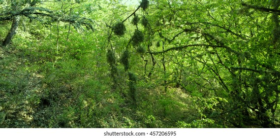 Oakmoss (Evernia prunastri) thickly covers branches of trees, epiflora, nest epiphyte