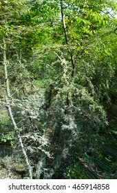 Oakmoss (Evernia prunastri) thickly covers branches of trees. Used in medicine and perfumes (perfumery raw materials)