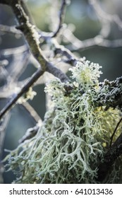 Oakmoss lichen at Abernethy Forest in Scotland.