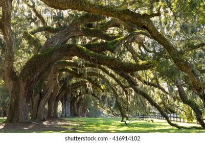 Oaks Avenue Charleston SC - Live Oak trees forest in Ace Basin