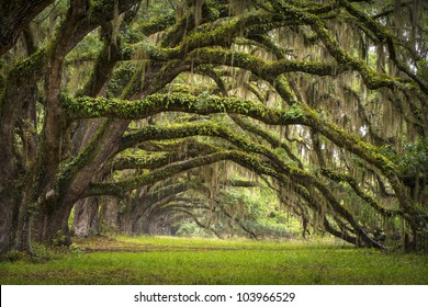Oaks Avenue Charleston SC plantation Live Oak trees forest landscape in ACE Basin South Carolina lowcountry
