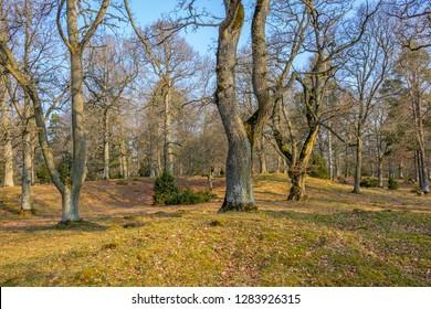 Oaks tree in a woodland