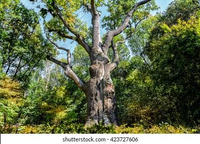 Oak-tree Maxim Zalizniak
