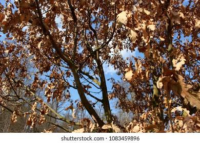oak-tree in spring leaves