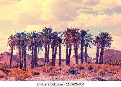 Oasis in desert. Palm trees grove in desert at sunset. Wilderness