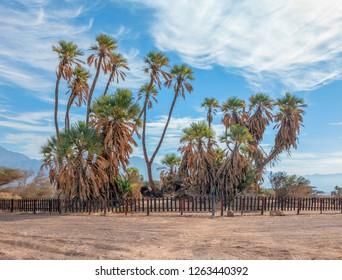 Oasis with Doum Palms (Hyphaene thebaica). Desert vegetation in the Arava Valley (Wadi El Arabah) near the Israel Jordan border, Israel