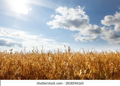 Oat cereal fields with blue sky on a sunny summer day before harvest.