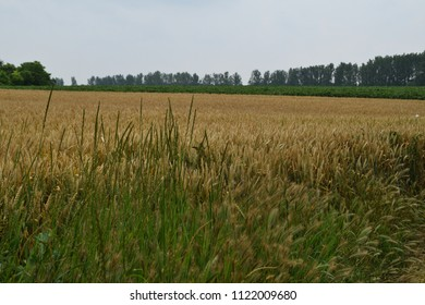 oat crop on an agricultural field