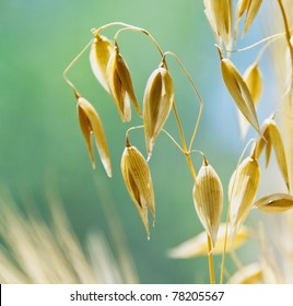 Oat ears with grains, image of the soft focus. Agricultural background - ripe spikes of oats on the field closeup.