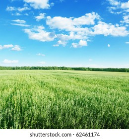 Oat field and blue sky with clouds.