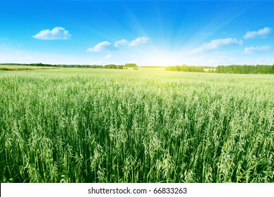 Oat field on summer day.