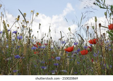 Oat field with poppies and cornflowers on blue sky background