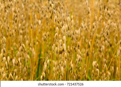Oat field in Sweden